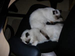 sasha and snowball kittens sleeping together
