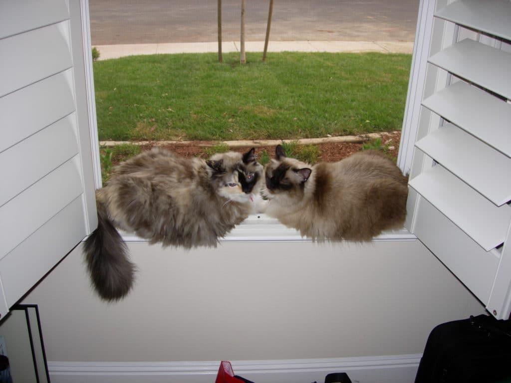 sasha and snowball together on window sill