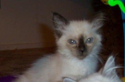 snowball kitten picture